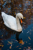 Close up shot of a swan in the lake Stock Photo