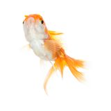 Close up shot of swimming orange fish Stock Photo