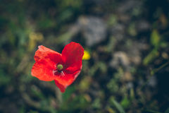Close up shot of tender poppy flower. Royalty Free Stock Image