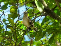 Thrasher bird in a very leafy tree. Close-up shot of a thrasher perched on a twig in a tree wit a thick growth of leaves Stock Image