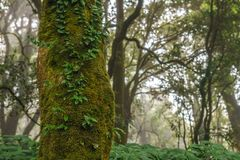 Close-up shot of a tree cover by moss and fern in the jungle tro. Pical rainforest with daylight and mist at Doi Inthanon, Chiang Mai, Thailand Stock Images