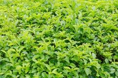 Close up shot of tree leaves green brush Stock Image