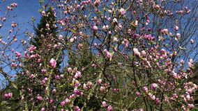 Close up shot of a tree with newly blossomed magnolia flowers. Close up shot of a tree, on branches that are located on the trunk bloomed magnolia flowers began stock footage