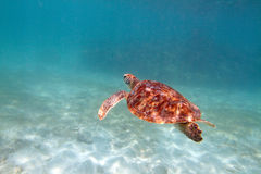 Close-up shot of a turtle under water, shallow focus. Riviera Ma Stock Photos