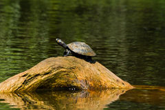 Close up shot of turtles in amazon rainforest Royalty Free Stock Photo