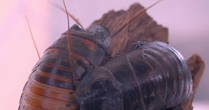 Close-up shot of two black beetles sitting on tree bark moving their whiskers in terrarium. stock video footage