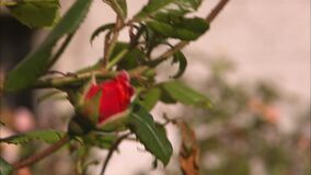 Close up shot of two flowers as the focus shifts. Close up shot of two flowers on branches as the focus shifts from a light orange flower to a bright red rose stock video