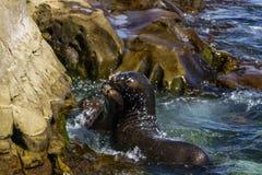 La Jolla Cove seals close up. A close up shot of two seals at La Jolla Cove, San Diego, California stock images