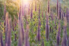 Close-up shot of vibrant purple flowers in full blooming at sunset. Nature background royalty free stock images