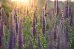 Close-up shot of vibrant purple herbs in full blooming in sunset. Nature background stock photos