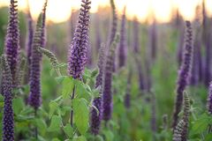 Close-up shot of vibrant purple herbs with green leaves  in full blooming at sunset. Nature background stock photography