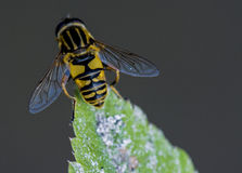 Close up shot of a Wasp. Macro shot of a Wasp sitting on the end of a leaf Royalty Free Stock Image