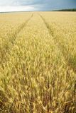Close up shot of wheat stalk Royalty Free Stock Photo