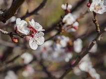 Close up shot of white Armenian plum blossom. At Los Angeles, California royalty free stock photography