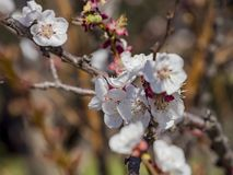 Close up shot of white Armenian plum blossom. At Los Angeles, California stock images