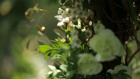 Close-up shot of the white blooming flowers on the green bush in sun. Close-up shot of the white blooming flowers on the green bush in sun stock footage