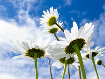 Close-up shot of white daisy flowers from below Stock Images