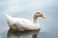 Close up shot of The White duck swimming on the water of lake. American pekin It derives from birds brought to the United States f. American pekin It derives stock photography