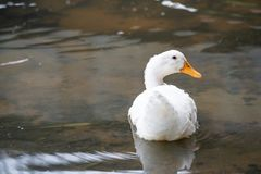 Close up shot of The White duck swimming on the water of lake. American pekin It derives from birds brought to the United States f. American pekin It derives stock photo