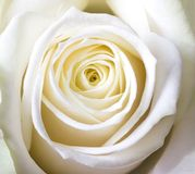 Close-up shot of white rose royalty free stock photography