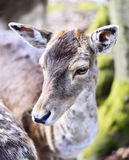 Close up shot of a wild deer, female whitetail deer. In a forest. Animal head, mule deer Stock Photography