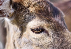 Close up shot of a wild deer, female whitetail deer. In a forest. Animal head, mule deer Stock Photos