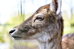 Close up shot of a wild deer, female whitetail deer. In a forest. Animal head, mule deer Royalty Free Stock Photos