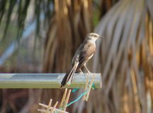 Thrasher perched on a clothesline pole. Close-up shot of a wild gray Thrasher bird standing atop the metal support pole of a clothesline clothespins on a line Royalty Free Stock Photos
