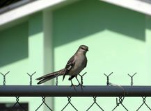 Wild Thrasher looking sideways at the camera. Close-up shot of a wild gray Thrasher standing on a chain link fence and staring towards the camera Royalty Free Stock Images