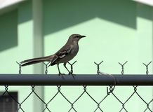 Handsome Thrasher bird standing on a metal pole. Close-up shot of a wild gray Thrasher standing on a metal pole atop a chain-link fence in front of a light-green Royalty Free Stock Image