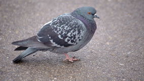 Close up shot wild pigeon in the city stock footage