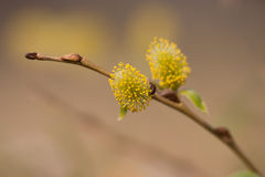 Willow Branch. Close-Up Shot of Willow Branch with Buds Royalty Free Stock Photo