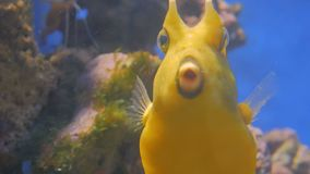 Close up shot of yellow funny fish near corals. In aquarium. Animals and nature concept stock footage