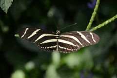 Close up shot Zebra Longwing Butterfly royalty free stock image