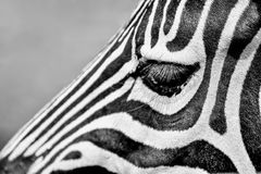 Close-Up Shot of Zebra's Eyes Royalty Free Stock Photography
