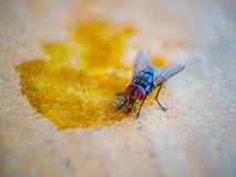 Close-up shots of flies. On wooden floors with food stock photography