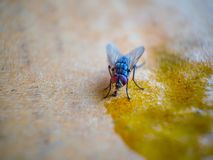 Close-up shots of flies. On wooden floors with food stock photo