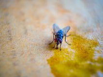 Close-up shots of flies. On wooden floors with food royalty free stock photos