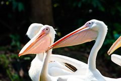 Great Whtie Pelican. Close up shots of great white pelicans Royalty Free Stock Photos