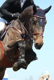 Close up of show jumping horse Stock Images