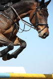 Close up of show jumping horse Royalty Free Stock Images