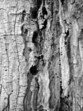 Background texture of old tree bark. Close up showing the texture of the bark on an old tree in Mont Royal, Montreal Canada stock photography