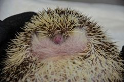 Close up of a shy curled up african hedgehog royalty free stock images