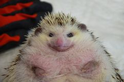Close up of a shy and morbidly obese african male hedgehog stock photo