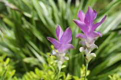 Close up of Siam tulip (Curcuma alismatifolia) is a tropical pla Stock Photos
