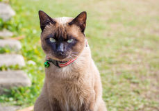 Close up on Siamese cat named Moon Diamond or seal brown, also c. Alled Wichianmas on the blur background Royalty Free Stock Photos