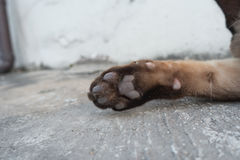Close up of Siamese cats paw Stock Images
