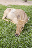 Close-up Siamese Eld's deer (Cervus eldi) Royalty Free Stock Photo