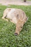 Close-up Siamese Eld's deer (Cervus eldi) Royalty Free Stock Photo