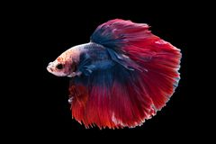 Beautiful betta splendens isolated on black background. Close-up of siamese fighting fish betta splendens isolated on black background stock photos